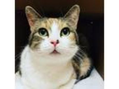 Adopt Crissy a Domestic Shorthair / Mixed (short coat) cat in Utica