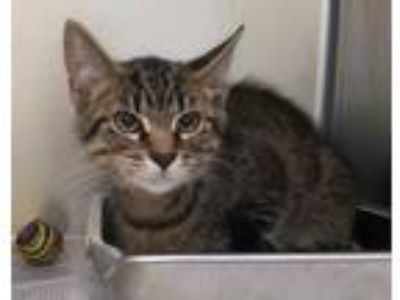 "Adopt CA 124 ""Nelson"" a Domestic Short Hair"
