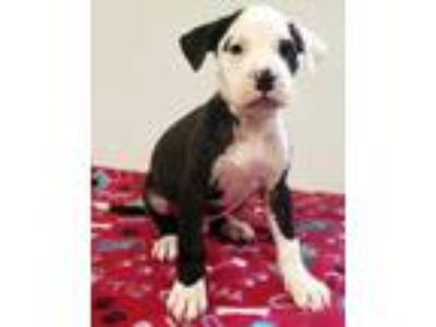 Adopt Pascual a American Staffordshire Terrier