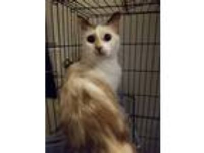 Adopt Sasha a Cream or Ivory (Mostly) Siamese / Mixed (medium coat) cat in