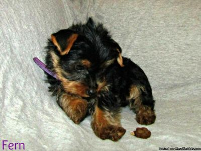 Pure Breed Yorkie Puppies for Sale