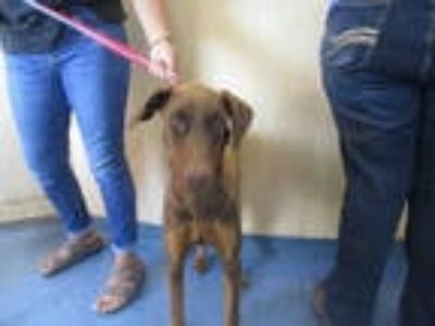 Adopt ZELDA a Brown/Chocolate Doberman Pinscher / Mixed dog in Santa Maria