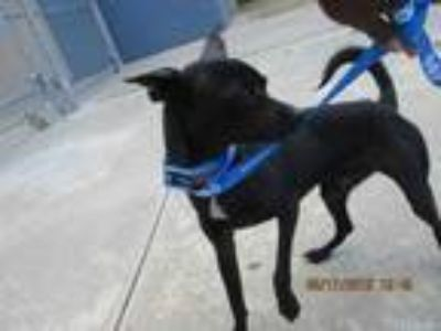 Adopt COOPER a Black - with White Manchester Terrier / Mixed dog in STOCKTON
