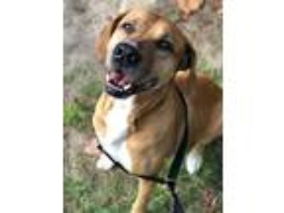 Adopt Champ a Brown/Chocolate Mixed Breed (Large) / Mixed dog in Orlando