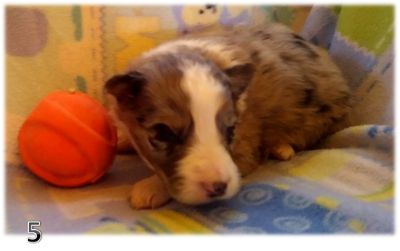 Border Collie PUPPY FOR SALE ADN-107939 - BORDER COLLIE PUPPIES  PURE BRED ARIZONA