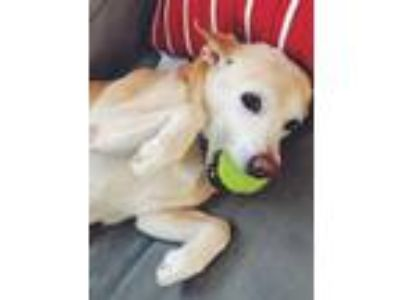 Adopt Prince a Yellow Labrador Retriever, Beagle