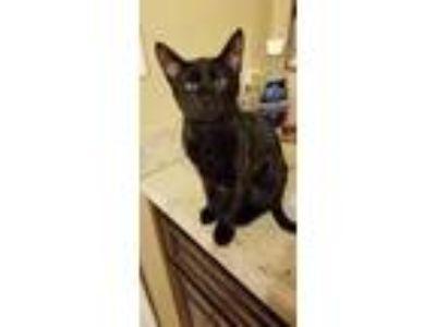 Adopt Sirius a All Black Domestic Shorthair / Mixed cat in Yuma, AZ (23942293)