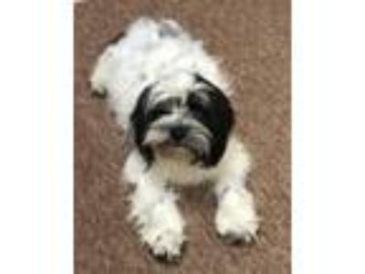 Adopt Troubles - Pending Vetting Post Pregnancy a Shih Tzu