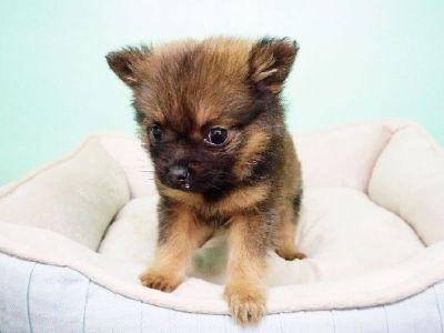 Pomeranian Puppy – Male - Dozer ($2500) *T Cup*
