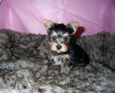AKC yorkie puppy boy