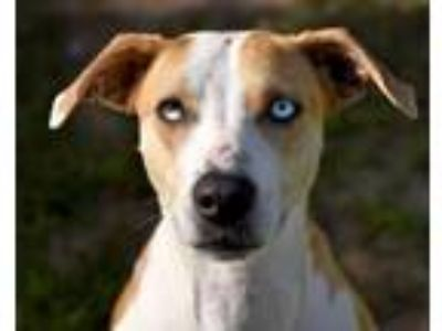 Adopt DIAMOND a Catahoula Leopard Dog, Whippet