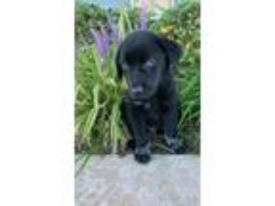 Adopt Sailor a Border Collie, Labrador Retriever