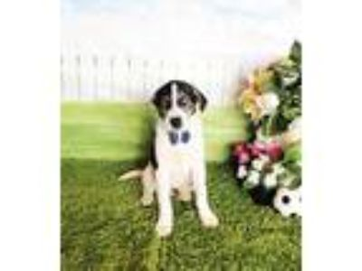Adopt Milton a Tricolor (Tan/Brown & Black & White) Labrador Retriever / Mixed