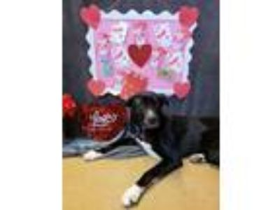 Adopt Daisy May a Great Dane, Black Labrador Retriever