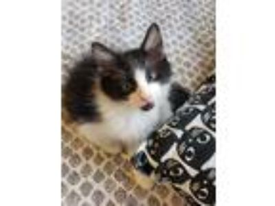 Adopt Jazzy a All Black Domestic Shorthair / Domestic Shorthair / Mixed cat in