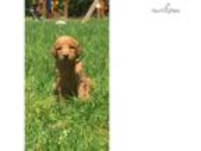 Honey- F1b Goldendoodle