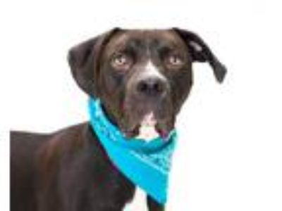 Adopt DUKE a Black - with White Labrador Retriever / Great Dane / Mixed dog in