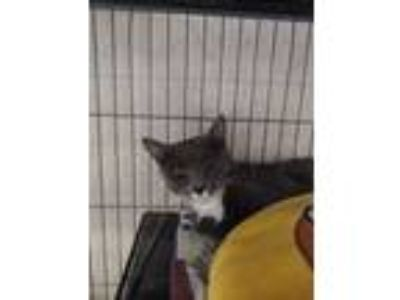Adopt Jane a Gray or Blue Domestic Shorthair / Domestic Shorthair / Mixed cat in