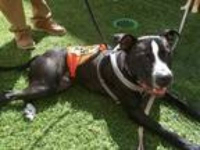 Adopt WINSTON a Pit Bull Terrier, Mixed Breed