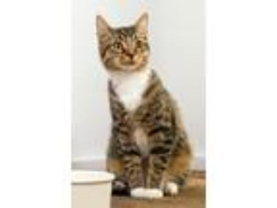 Adopt Jackie a Brown Tabby Domestic Shorthair / Mixed (short coat) cat in