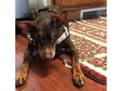 Adopt Artemis (Sparky) a Miniature Pinscher dog in Madison, WI (25348073)