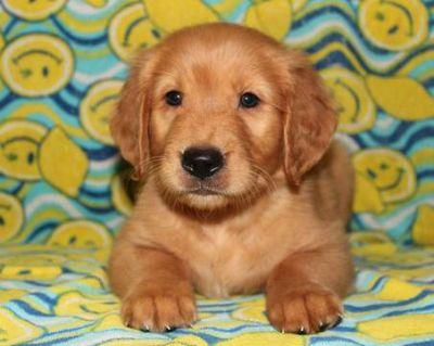 Golden Retriever PUPPY FOR SALE ADN-79529 - AKC Golden Retriever