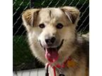 Adopt Emma a White Jindo / Spaniel (Unknown Type) / Mixed dog in LONG ISLAND