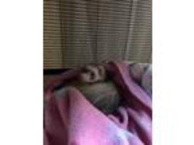 Adopt Sloane a Sable Ferret / Ferret / Mixed small animal in Nashua