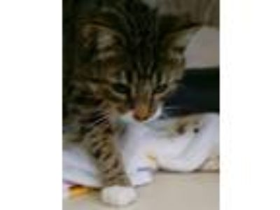 Adopt Bantha a Domestic Shorthair / Mixed cat in Pittsburgh, PA (25650735)