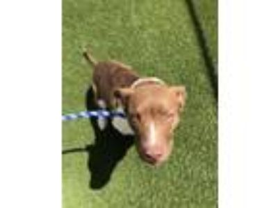 Adopt Poptart a Pit Bull Terrier, Border Collie