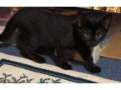 Adopt Tom and Jerry a American Shorthair