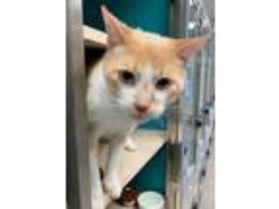 Adopt Creamsicle a Orange or Red Siamese / Domestic Shorthair / Mixed cat in