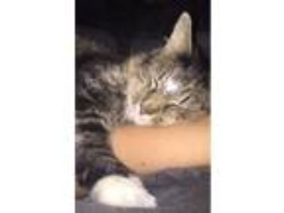 Adopt Sparkle a Brown or Chocolate (Mostly) Domestic Longhair (long coat) cat in