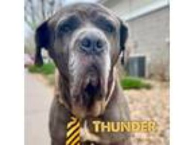 Adopt Thunder a Gray/Blue/Silver/Salt & Pepper Neapolitan Mastiff / Mixed dog in