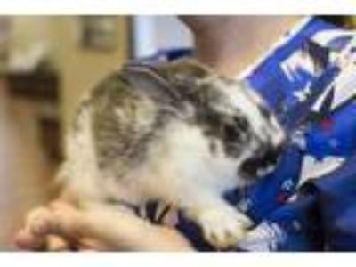 Adopt Ned a White Lop-Eared / Rex / Mixed rabbit in Appleton, WI (25289787)
