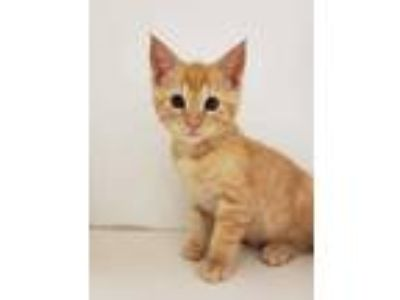 Adopt BINX a Orange or Red Tabby Domestic Shorthair / Mixed (short coat) cat in
