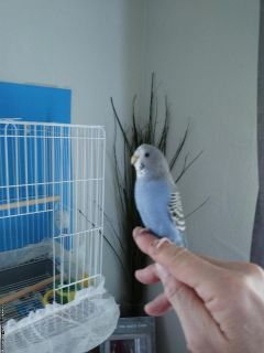 Free young parakeet and cage