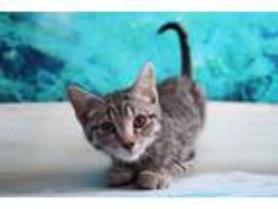 Adopt Mrs. Pickles a Domestic Short Hair, Tabby