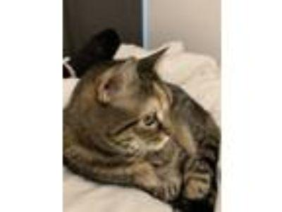 Adopt Hawaii a Brown Tabby Domestic Shorthair cat in Brooklyn, NY (25063732)