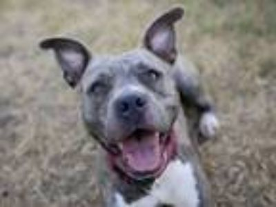 Adopt JASMINE a Pit Bull Terrier, Mixed Breed
