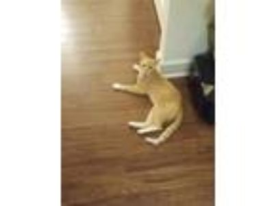 Adopt TEDDY a Orange or Red Tabby Domestic Shorthair cat in Baltimore