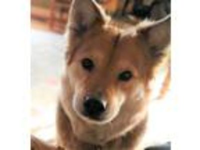 Adopt Roxie - local gal a Shepherd, Chow Chow