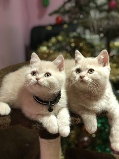 Adorable Scottish Fold Kittens