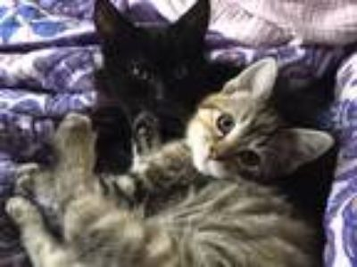 Adopt Brussel Sprout a Tiger Striped Domestic Shorthair (short coat) cat in
