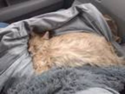 Adopt Chance a Domestic Longhair / Mixed (long coat) cat in Alamogordo