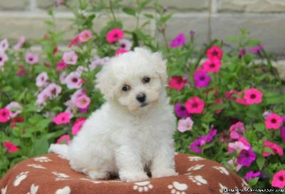Bichon Frise Puppies For Sale.