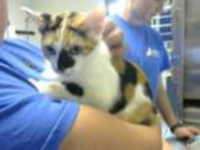 Adopt SAHARA a Calico or Dilute Calico Domestic Shorthair / Mixed (short coat)