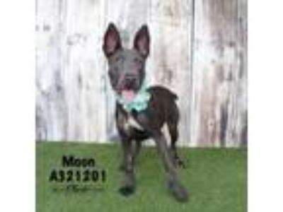 Adopt MOON a Blue Lacy, Mixed Breed