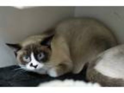 Adopt Doodle a Cream or Ivory (Mostly) Siamese (short coat) cat in Green Valley