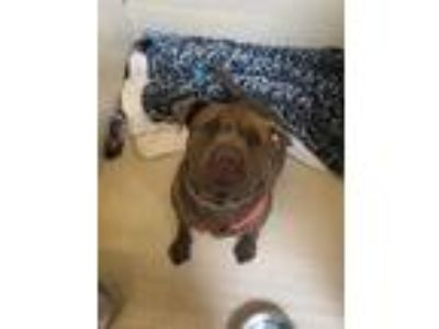 Adopt PRINCE a Brown/Chocolate Shar Pei / American Pit Bull Terrier / Mixed dog